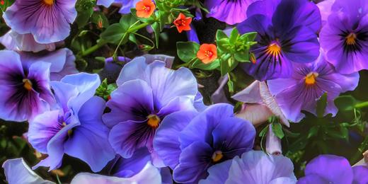 Twitter Header - Purple Flowers - Hipi.info